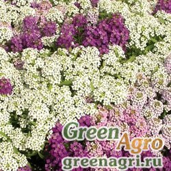 """Алиссум морской компактный (Lobularia maritima) """"Wonderland"""" (mulberry mix) raw 250 шт."""