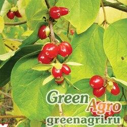 Жимолость пузырчатая (Lonicera vesicaria) 3 гр.