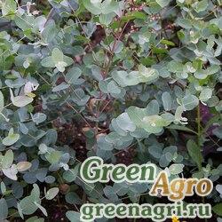 "Эвкалипт Гунна (Eucalyptus gunnii) ""Silver Drop"" (silvery gray leaf) raw 250 шт."