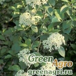 Калина канадская (Viburnum lentago) 25 гр.