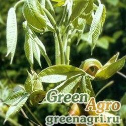 Кария овальная (Carya ovata) 100 гр.