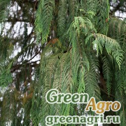Кипарис кашмирский (Cupressus cashmeriana) 40 гр.