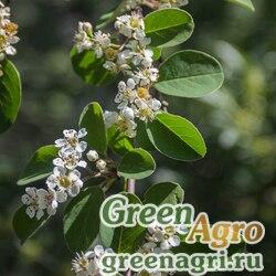 Кизильник многоцветковый (Cotoneaster multiflorus) 30 гр.