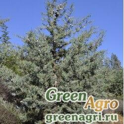 Кипарис аризонский (Cupressus arizonica) 15 гр.