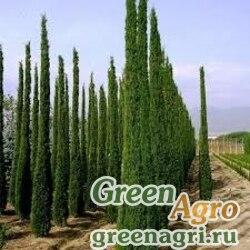 Кипарис вечнозеленый ф.пирамидальная (Cupressus sempervirens f.stricta) 100 гр.