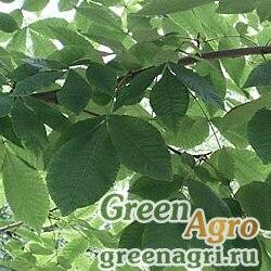 Кария сердцевидная (Carya cordiformis) 30 гр.