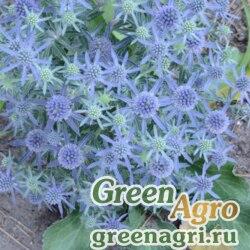 """Синеголовник плосколистный (Eryngium planum) """"Blue Hobbit"""" (Blue) raw 250 шт."""