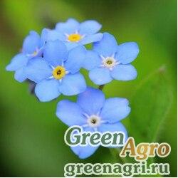 """Незабудка лесная (Myosotis sylvatica) """"Miro"""" (mid-blue) raw 250 шт."""