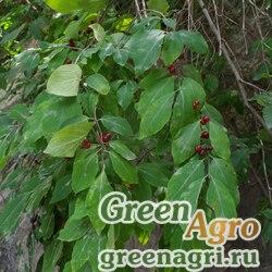 Жимолость Стевена (Lonicera steveniana) 3 гр.