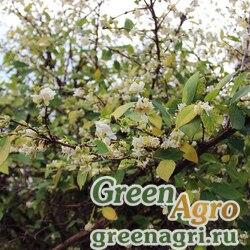 Жимолость душистейшая (Lonicera fragantissima) 15 гр.