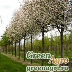 Ирга древовидная (Amelanchier arborea) 1 гр.
