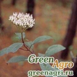 Калина цилиндрическая (Viburnum cylindricum) 25 гр.