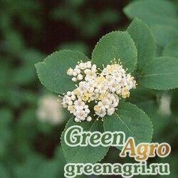 Калина буреинская (Viburnum burejaticum) 20 гр.