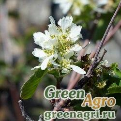 Ирга круглолистная (Amelanchier rotundifolia) 30 гр.