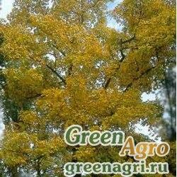 Кария бахромчатая (Carya laciniosa) 180 гр.