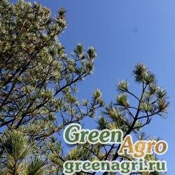 Кедр европейский (Pinus cembra) 10 гр.