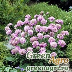 """Скабиоза японская разн. альпийская (Scabiosa japonica) """"Ritz"""" (rose) raw 250 шт."""