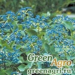 Калина зубчатая (Viburnum dentatum) 50 гр.