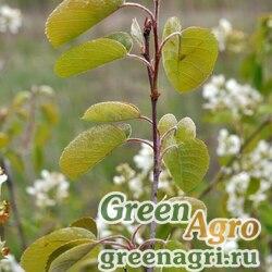 Ирга колосовидная (Amelanchier spicata) 0.5 гр.