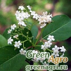 Калина сливолистная (Viburnum prunifolium) 25 гр.