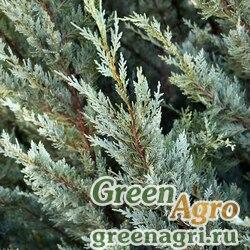 Кипарисовик Лавсона (Chamaecyparis lawsoniana) 20 гр.