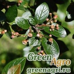 Кизильник блестящий (Cotoneaster lucidus) 50гр