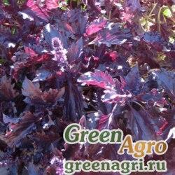 """Базилик благородный (Ocimum basilicum) """"Purple Ruffles"""" (purple) raw 1000 шт."""
