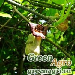 Кирказон манчжурский (Aristolochia mandshuriensis) 20 гр.