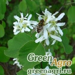 Ирга ольхолистная (Amelanchier alnifolia) 10 гр.