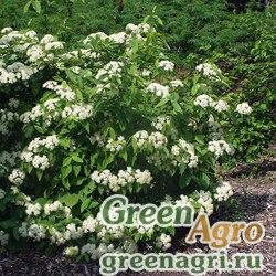 Калина шмелевидная (Viburnum cassinoides) 15 гр.