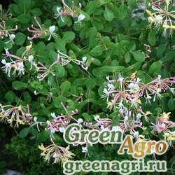 Жимолость этрусская (Lonicera etrusca) 10 гр.