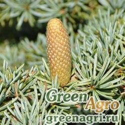 Кедр ливанский короткохвойный (Cedrus libani ssp.brevifolia) 25 гр.