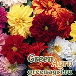 "Георгина летняя (Dahlia variabilis) ""Hello Gorgeous F1"" (mix) raw Произв. 100 шт."