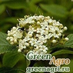 Калина гордовина (Viburnum lantana) 100 гр.