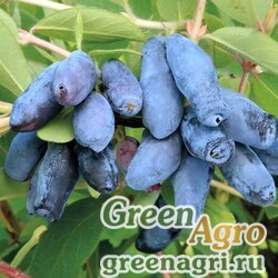 Жимолость съедобная (Lonicera caerulea ) 3 гр.