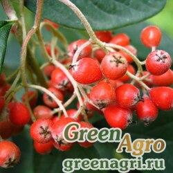 Кизильник млечный (Cotoneaster lacteus) 10 гр.