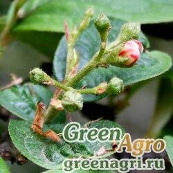 Кизильник пузырчатый (Cotoneaster bullata) 10 гр.