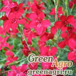 """Гвоздика травянка (Dianthus deltoides) """"Flashing light"""" (mix) 15 г"""