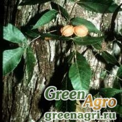 Кария миристиковидная (Carya myristiciformis) 30 гр.