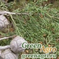 "Кипарис аризонский Стифенсона (Cupressus arizonica var. stephensonii) ""CA"" 0,3 гр."