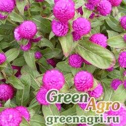 "Гомфрена шаровидная (Gomphrena globosa) ""Buddy"" (purple) raw 250 шт."