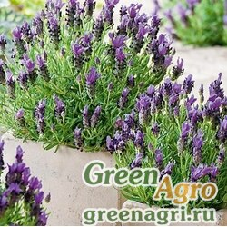"Лаванда узколистная (Lavandula angustifolia) ""Bandera"" (purple) raw 500 шт."