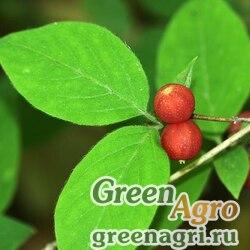 Жимолость раннецветущая (Lonicera praeflorens) 3 гр.