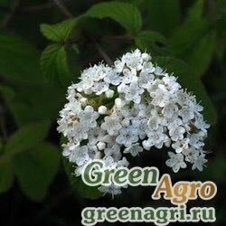 Калина ичанская (Viburnum ichangense) 150 гр.