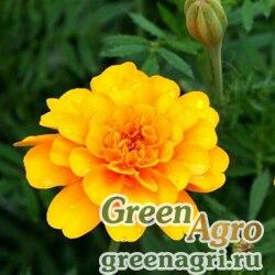"""Бархатцы отклоненные (Tagetes patula) """"Brocade"""" (yellow) raw 100 гр."""