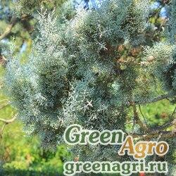 """Кипарис Макнаба (Cupressus macnabiana) """"CA"""" 2 гр."""