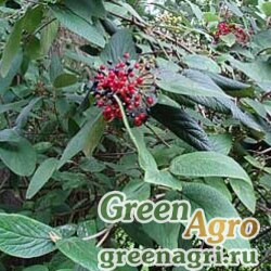 Калина морщинистолистная (Viburnum rhytidophyloides) 40 гр.