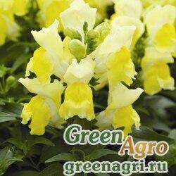"""Львиный зев (Антирринум) большой (Antirrhinum majus) """"Montego F1"""" (yellow) raw 1000 шт."""