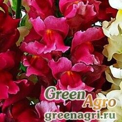 """Львиный зев (Антирринум) большой (Antirrhinum majus) """"Liberty Classic F1"""" (rose pink) raw 1000 шт."""