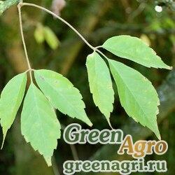Клен виноградолистный (Acer cissifolium) (без крылаток) 3 гр.